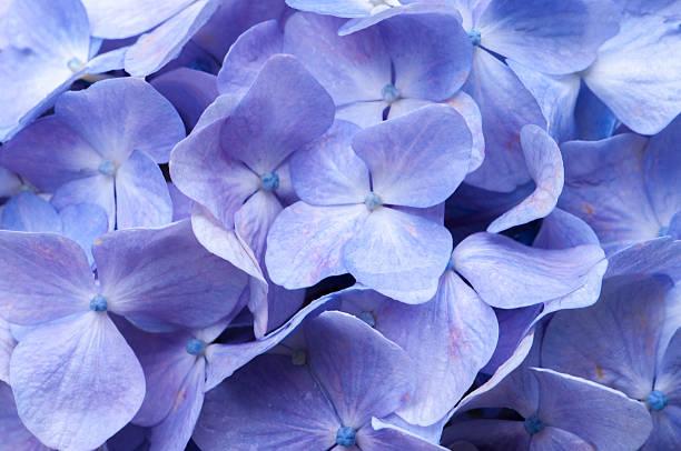 Hydrangea stock photo