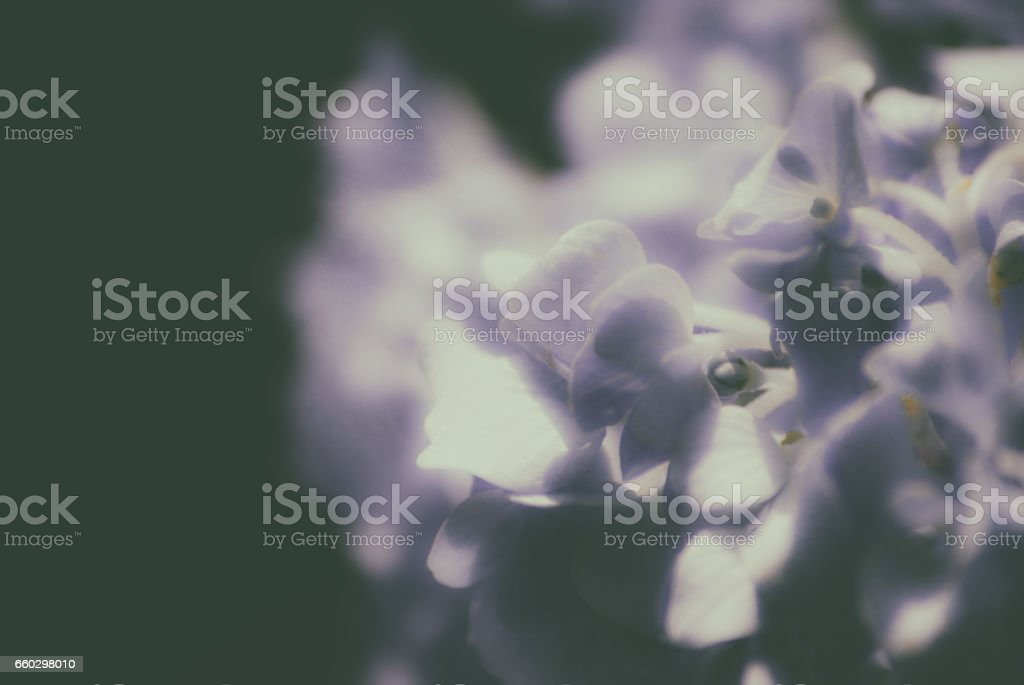 Hydrangea (Soft-focus effect) stock photo