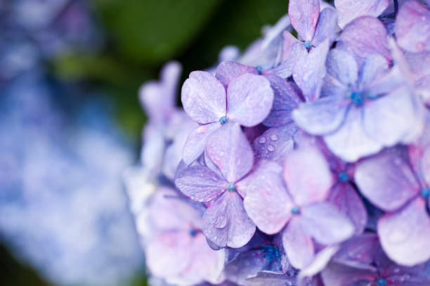 hydrangea - june stock photos and pictures