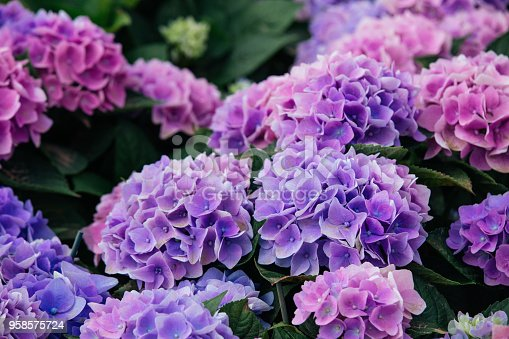 A close up view of Hydrangea (Hortensia). Wonderful Purple, blue and pink flowers