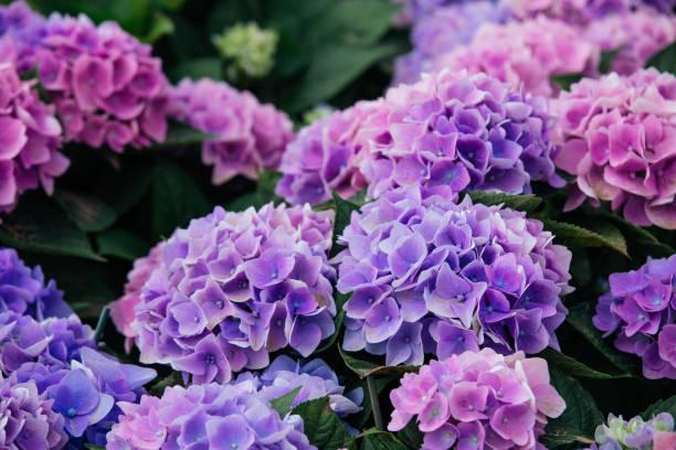 hydrangea (hortensia) - hortensja zdjęcia i obrazy z banku zdjęć
