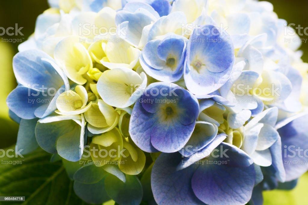 繡球花 - 免版稅夏天圖庫照片