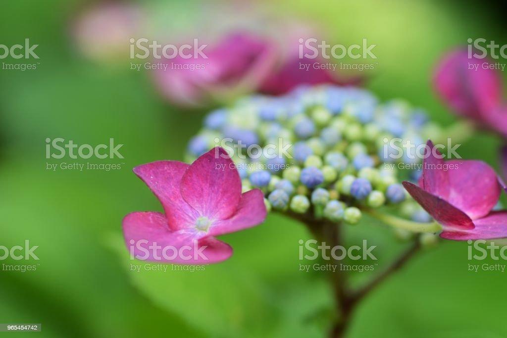 Hortensia - Photo de Arbre en fleurs libre de droits