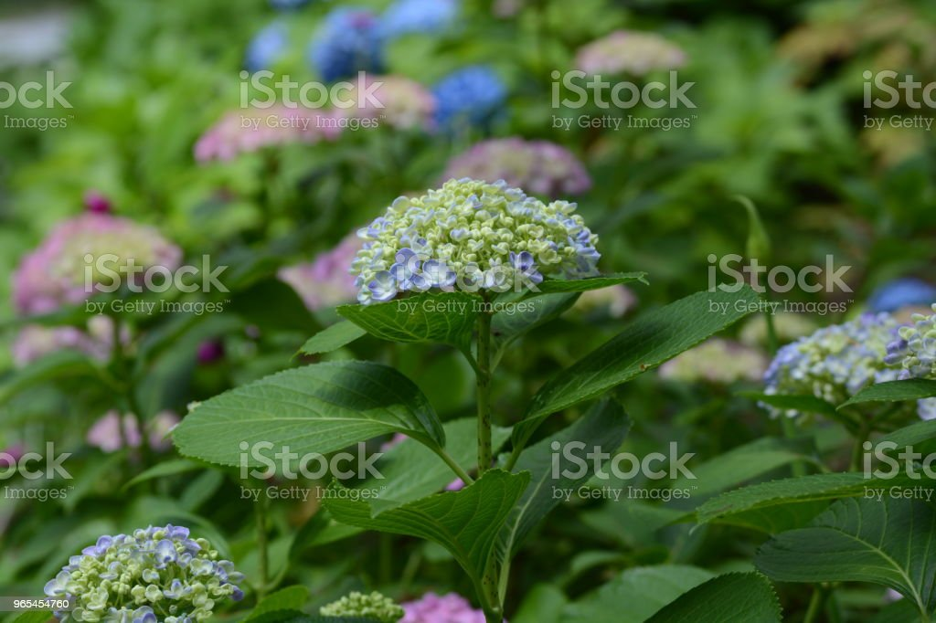 Hydrangea royalty-free stock photo