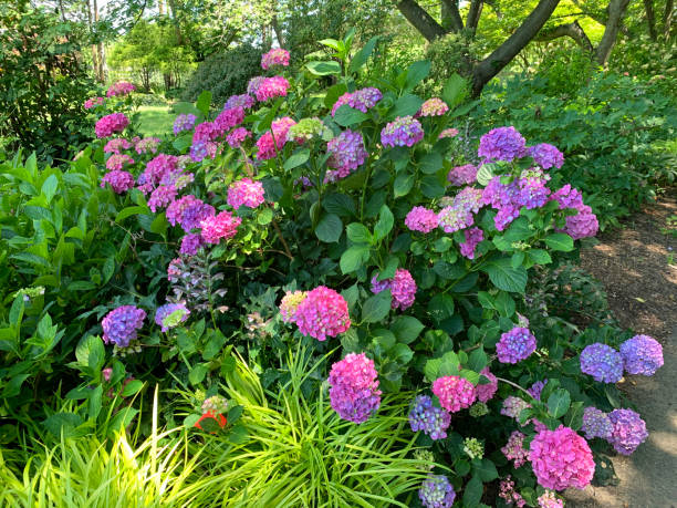 Hydrangea - Pink and Blue stock photo