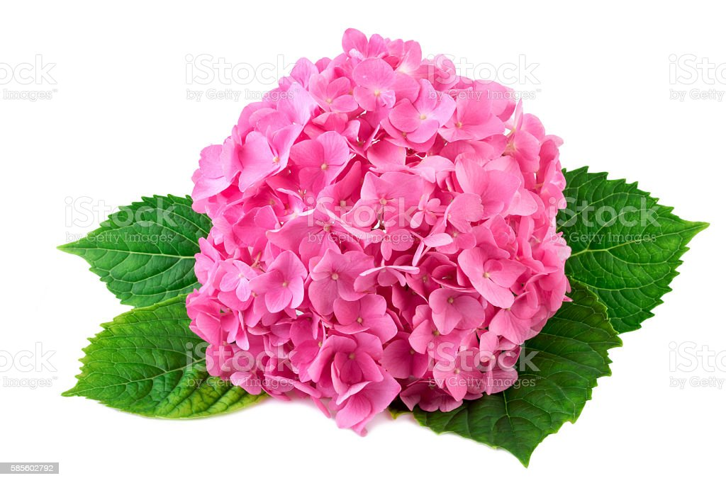 Hydrangea pink flower with green leaf on white stock photo