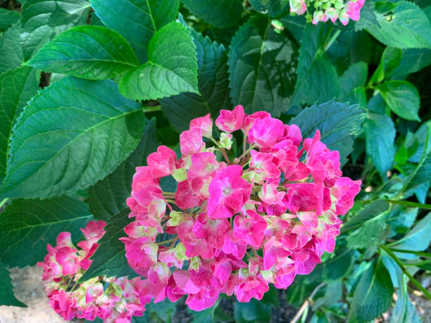 Hydrangea - Pink stock photo