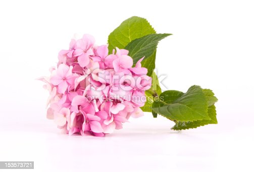 Hydrangea pink flower in a isolated on white.