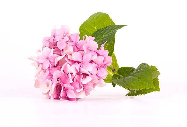 hortensja różowy - hortensja zdjęcia i obrazy z banku zdjęć