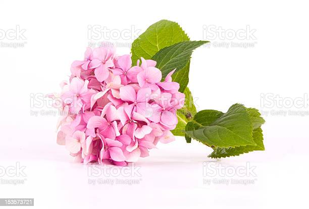 Photo of Hydrangea pink