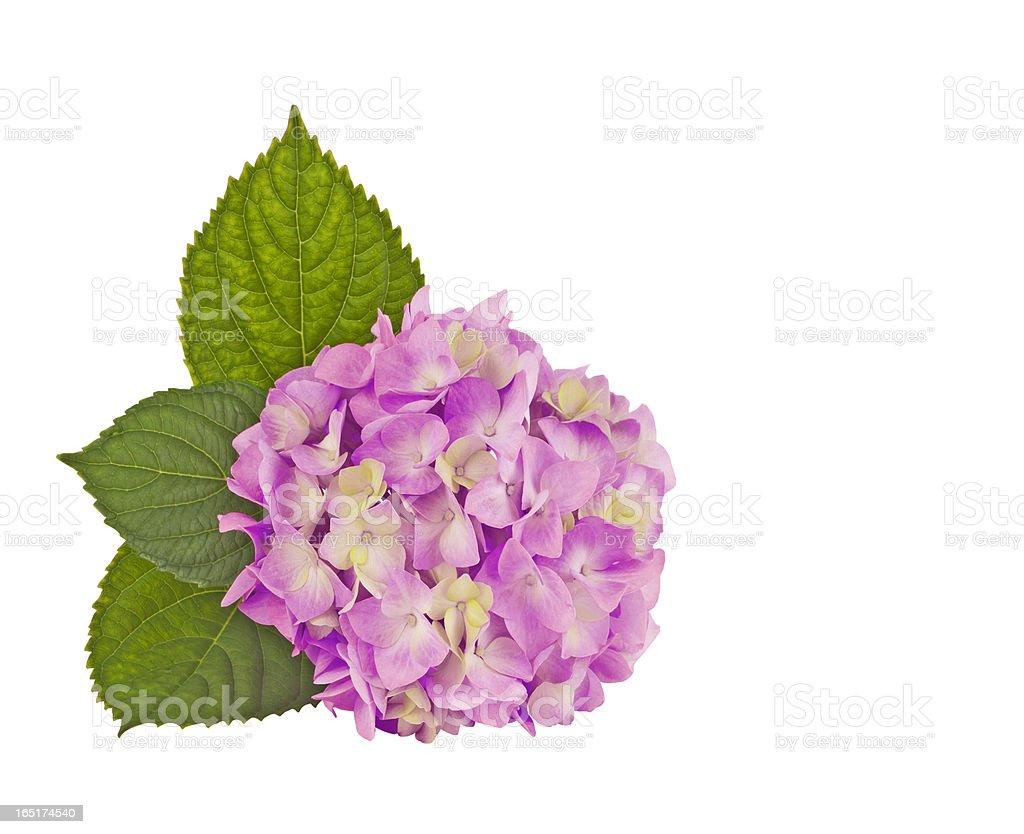 hydrangea pink royalty-free stock photo