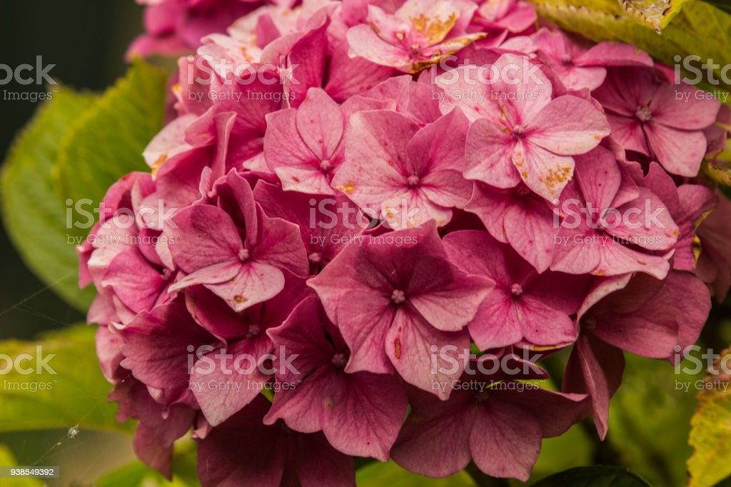 Hydrangea plant close up stock photo