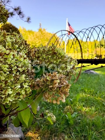 Hydrangea plant with farming equipment and US flag on a rural farm. Photograph taken in Northern Wisconsin in early fall on a beautiful sunny day.
