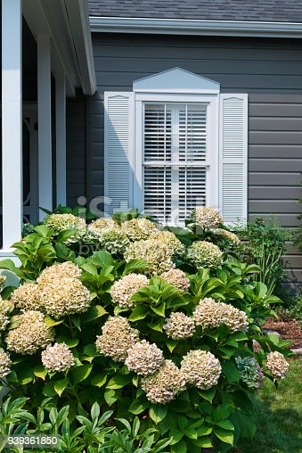 Hydrangea plant blooming with shuttered window in background