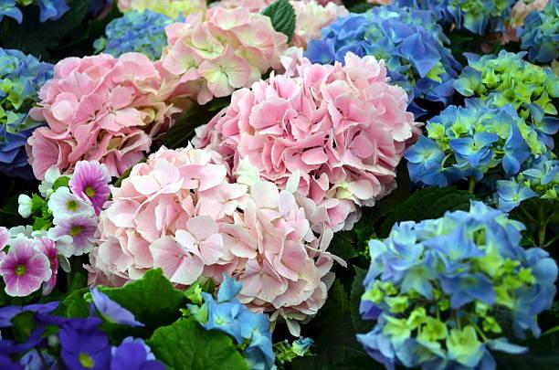 hydrangea plants in pink and blue - hortensia stockfoto's en -beelden