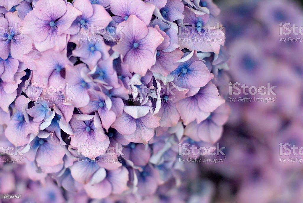 Hortênsia foco seletivo fundo - Foto de stock de Azul royalty-free