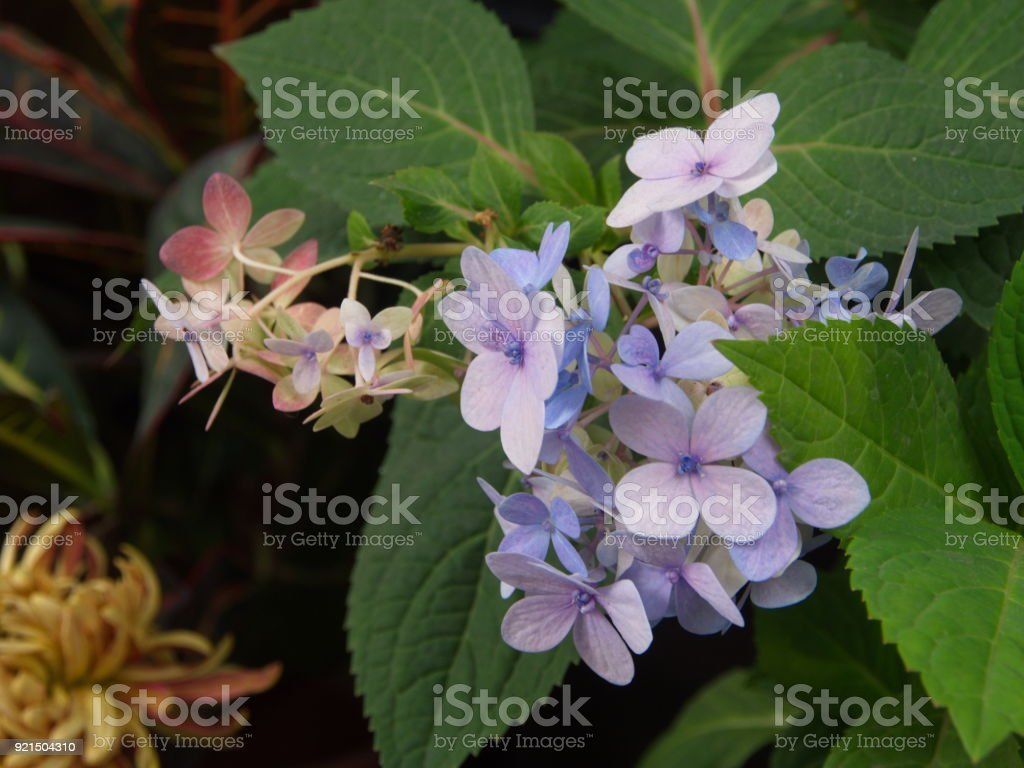 Hydrangea serrata is a flower  Native to mountainous regions of China and Korea and Japan. Common names are mountain hydrangea and tea of heaven. stock photo