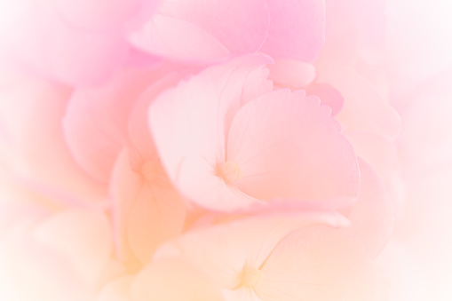 652288118 istock photo Hydrangea with soft pastel color in  blur style for background 1169826254