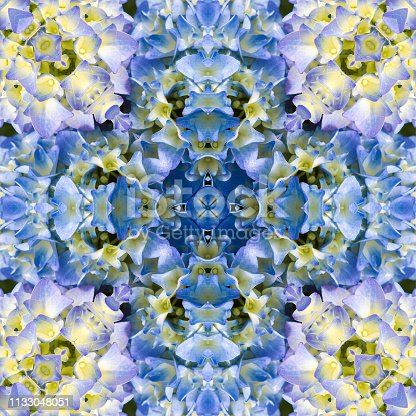 Abstract kaleidoscopic pattern of a hydaangea bloom fully open showing the subtle shades of blue and pink in the flower,