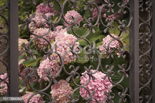 hydrangeas behind an ornate gate in wrought iron. Shallow, soft focus. Italy, Summer