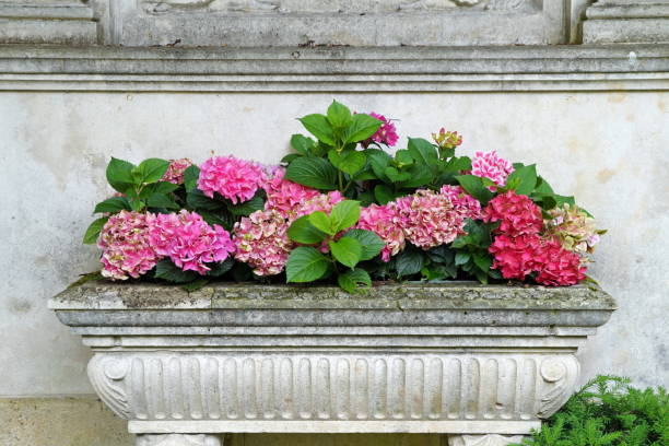 Hydrangeas in a flower box made of stone – Foto