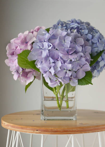 Royalty Free Hydrangeas In Vase Pictures Images And Stock Photos