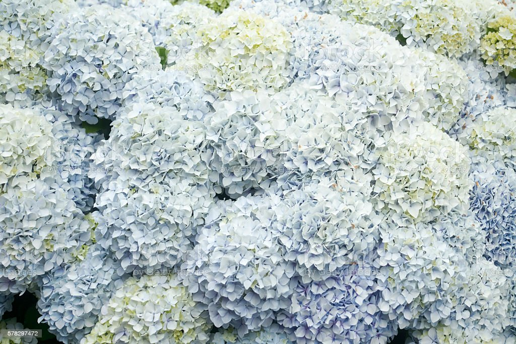 Hydrangeas in the sunlight, full frame. stock photo