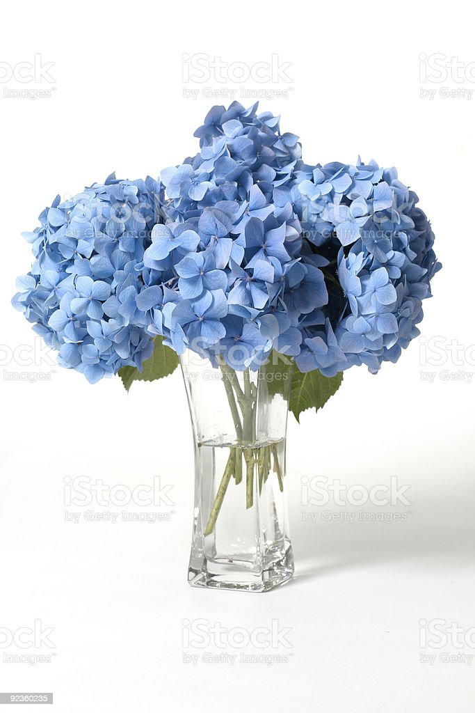 Hydrangeas in vase stock photo