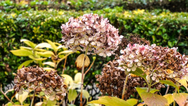 hydrangeas in winter. - dead plant stock photos and pictures