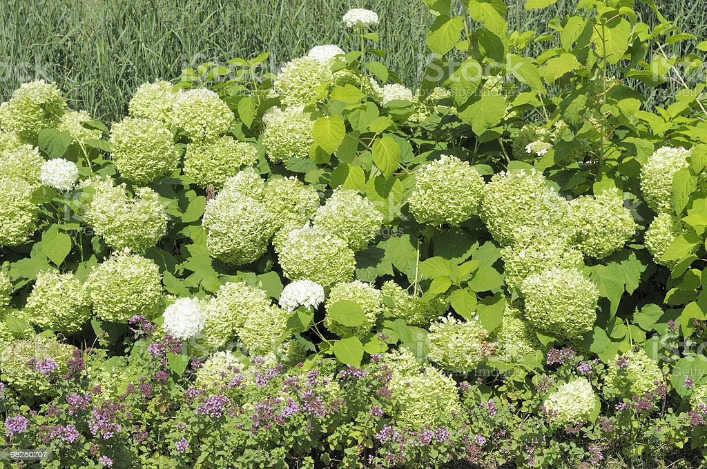 Hydrangeas royalty-free 스톡 사진