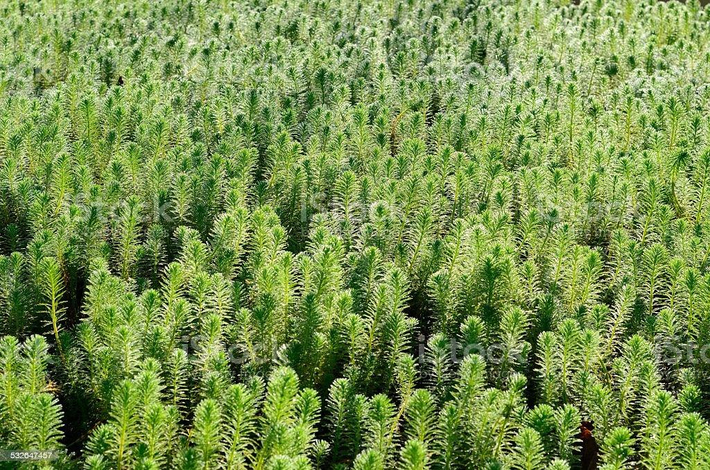 Hydrilla (Hydrilla verticillata) stock photo
