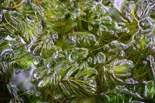 hydrilla verticillata in fish pond - гидрилла мутовчатая стоковые фото и изображения