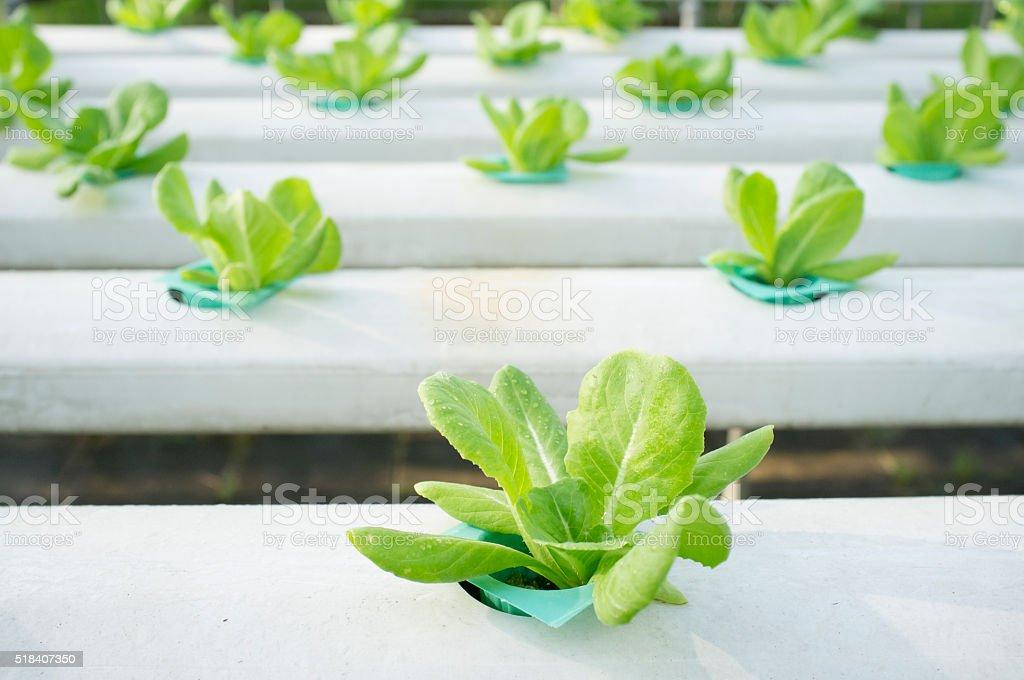Hydrophonic Plantation stock photo