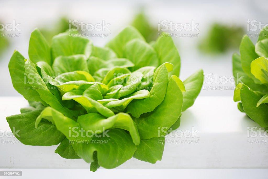 Hydroponic Butter Lettuce Farm stock photo
