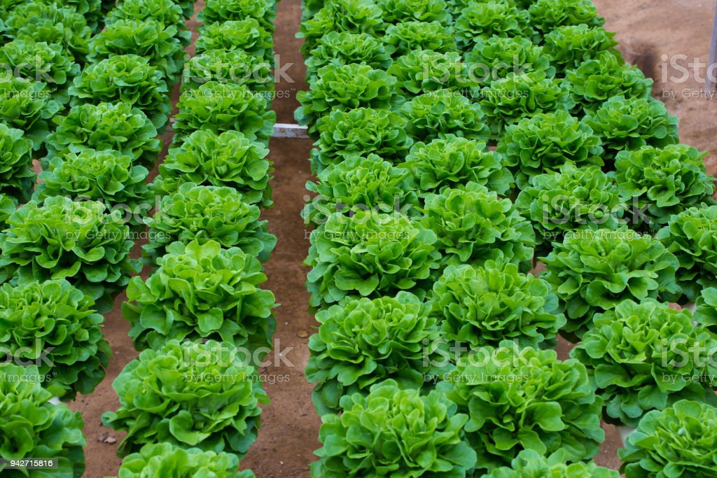 Hydroponic butterhead lettuce growing in greenhouse at Cameron Highlands, Malaysia stock photo