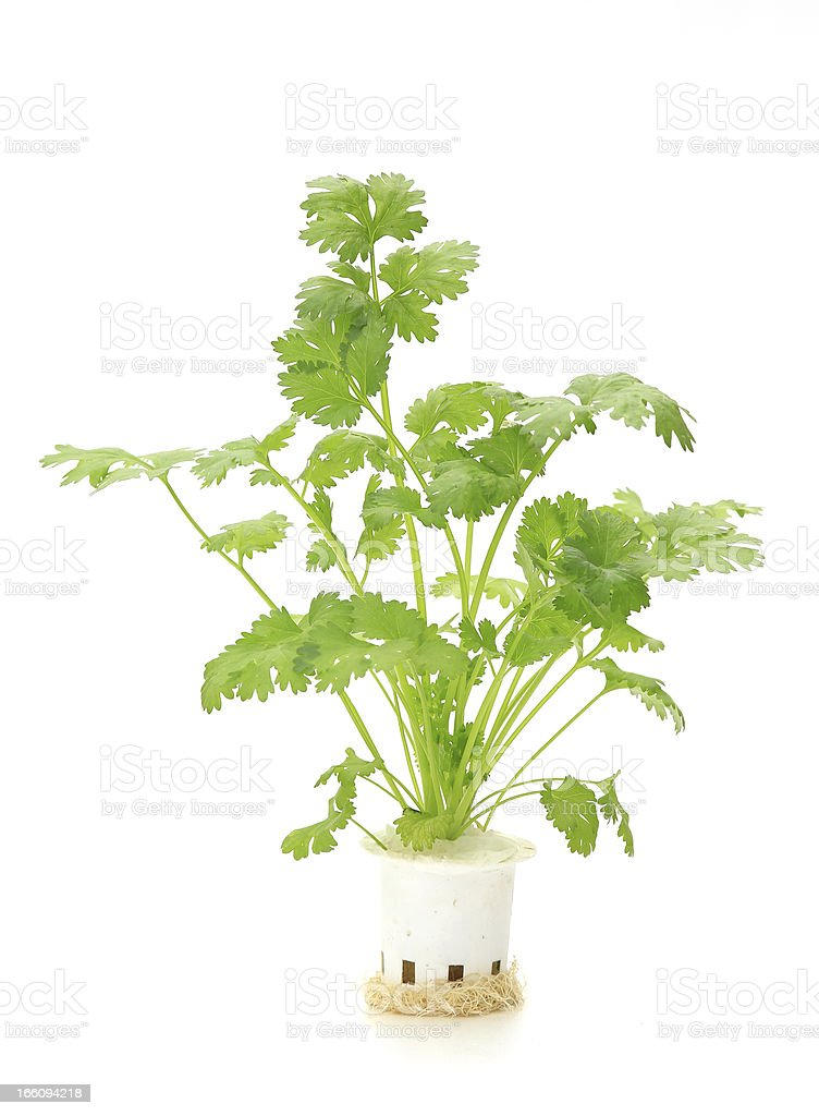 Hydroponic  coriander  vegetable on white background royalty-free stock photo