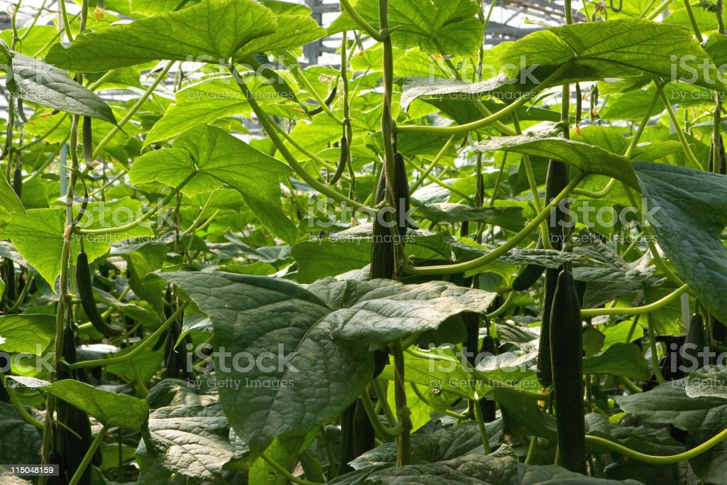 Hydroponic Cucumbers royalty-free stock photo