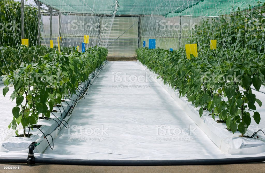 Hydroponic Cultivation of Paprika and Cucumber stock photo