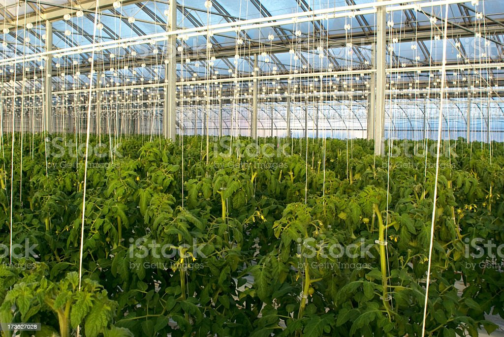 Hydroponic Greenhouse Tomatoes royalty-free stock photo