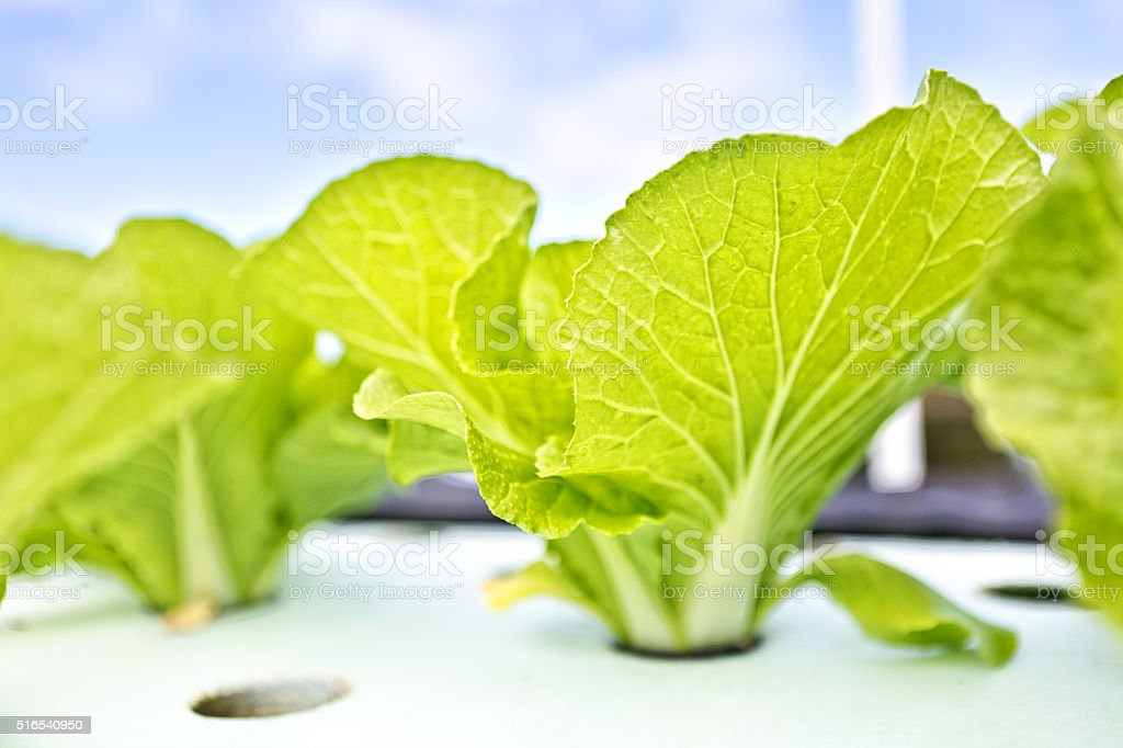 Hydroponic Lettuce Vegetable Planted in Planting Bed stock photo