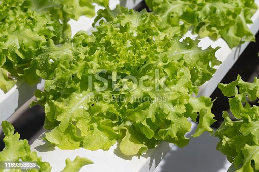 Hydroponic lettuces vegetable salad in farm.