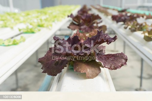 1096949092 istock photo Hydroponic Organic vegetable cultivation farm. 1051328056