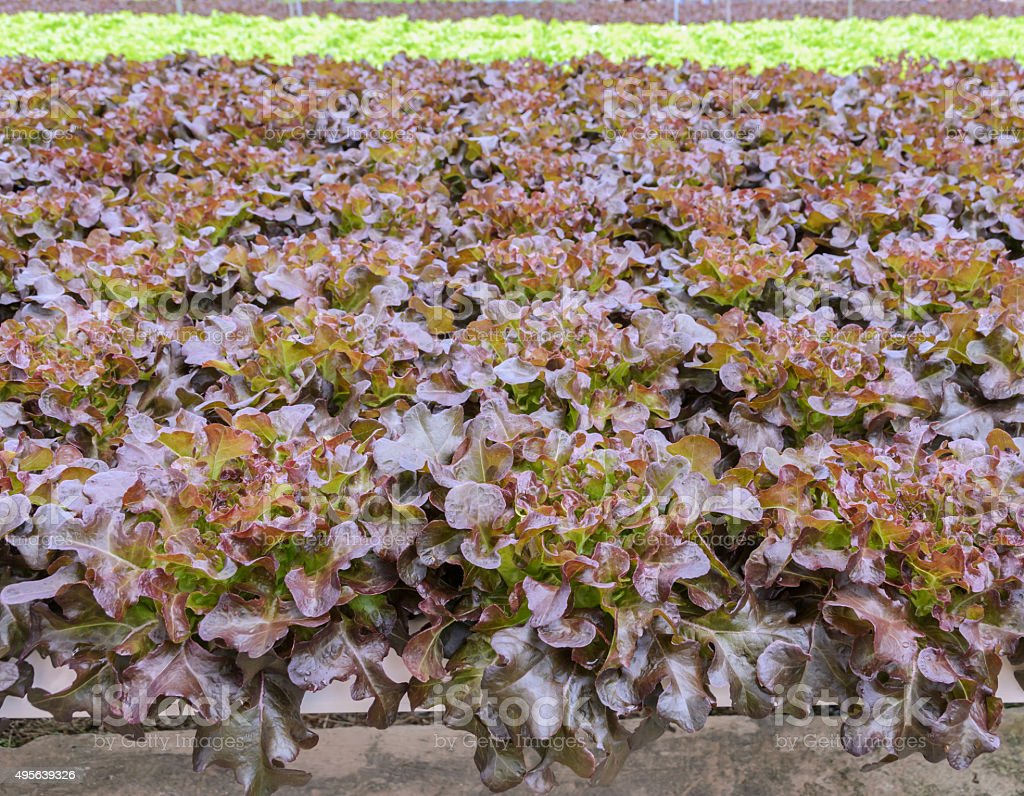 Hydroponic red oak leaf lettuce plantation stock photo