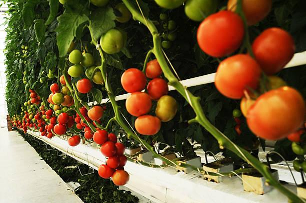 Hydroponic tomato stock photo