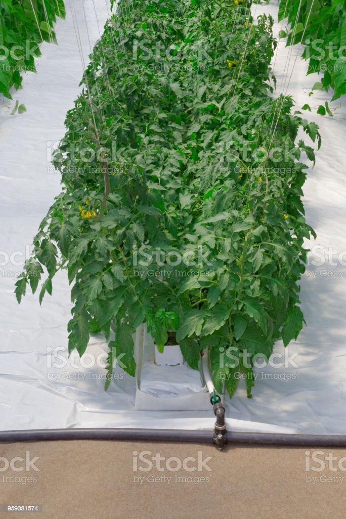 Hydroponic Tomato Plant Green House stock photo