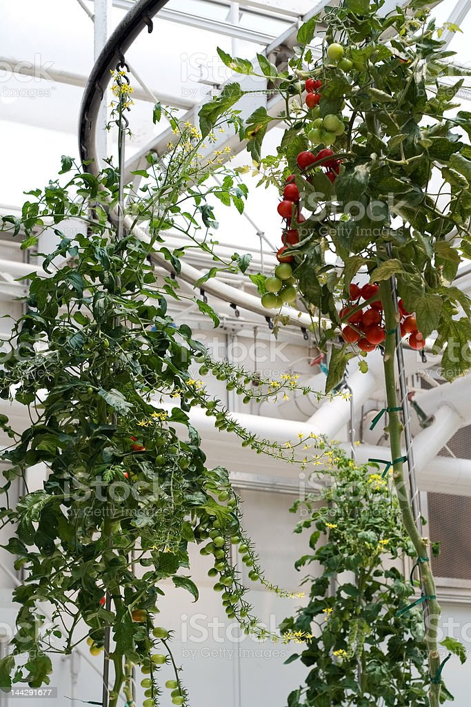Hydroponic Tomato Plant royalty-free stock photo