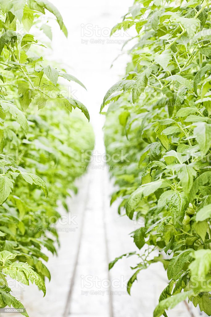 Hydroponic Tomato Plants in Commercial Greenhouse royalty-free stock photo