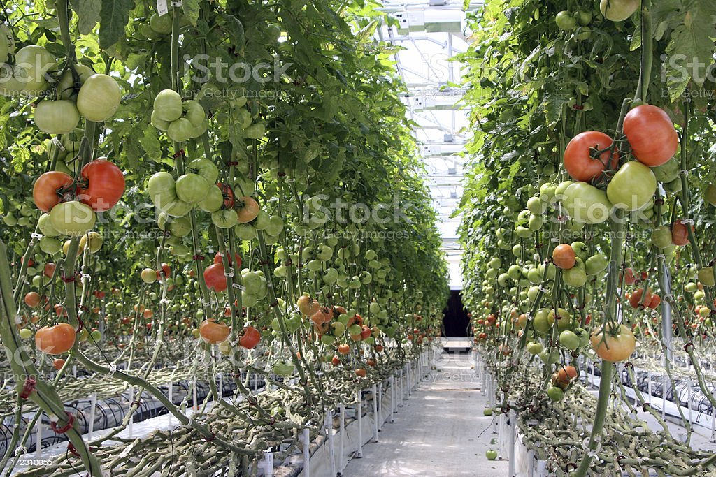 Hydroponic Tomatoes stock photo