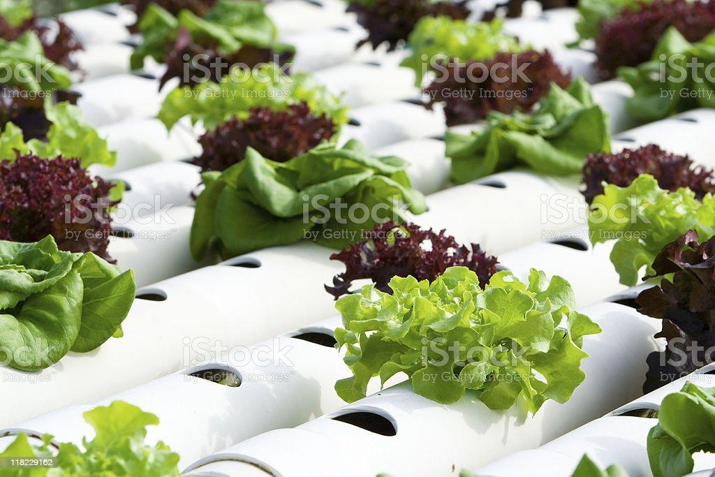 Hydroponic vegetable garden flourishing stock photo