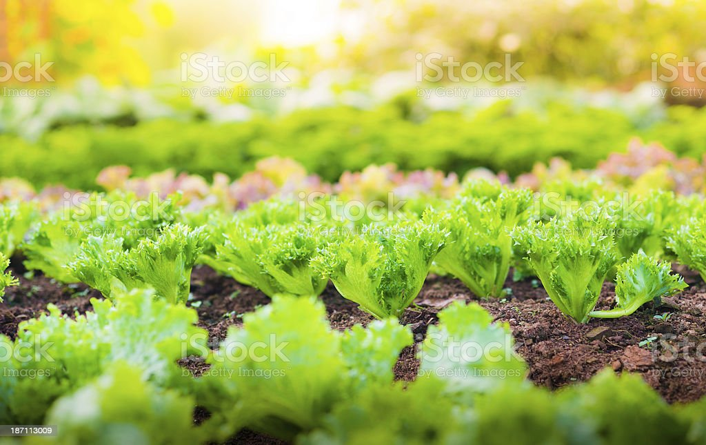 Hydroponic vegetable in a garden. royalty-free stock photo